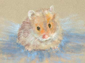 Bright eyes (Long-haired Hamster)