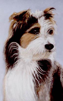 Remmy - Bearded Collie Cross