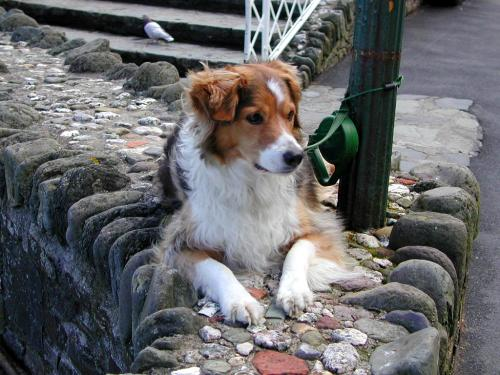 Collie at Lynmouth