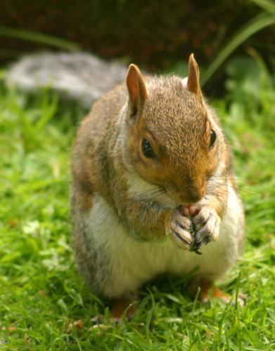 Squirrel with tasty morsel