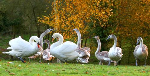 Parents and Adolescent Swans