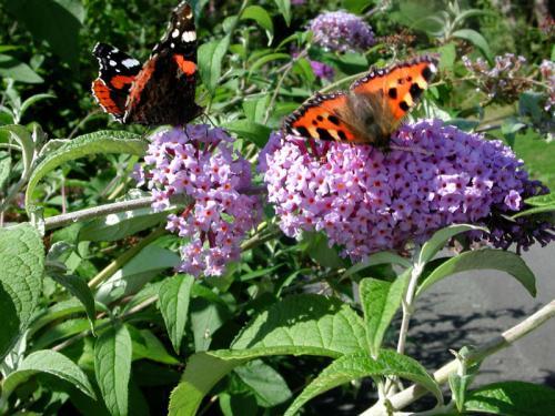 Butterflies on Budlea
