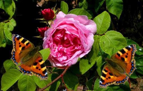 Butterflies on Roses