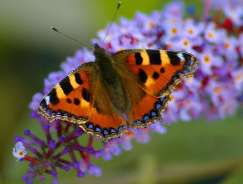 Butterflies on Blossom