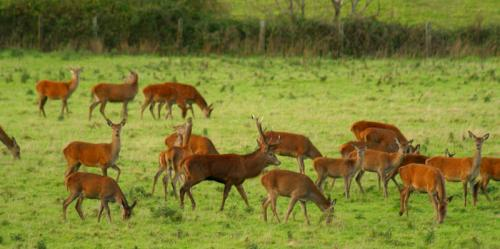 Red Deer and Stag