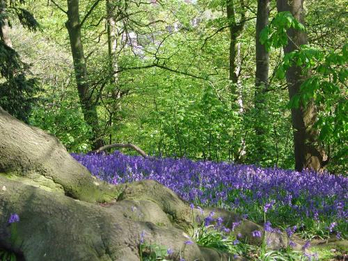 Bluebells at Worfield